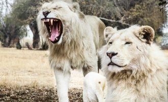 Lions Breath